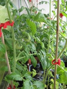 Du pomidoriukai