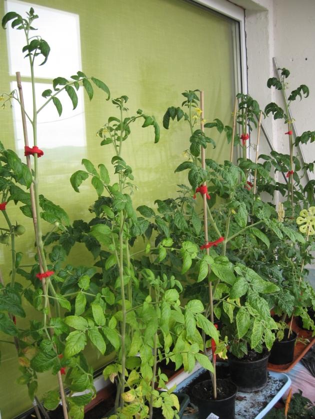 Pomidorai balkone paaugo