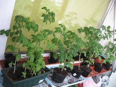 Mano pomidorai