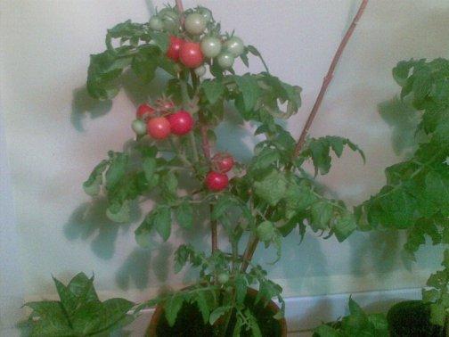 Išsilieję pomidorai