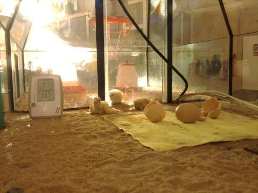Laukiau, laukiau kol tie viščiukai išlįs, bet nesulaukiau. Užtat pamačiau jau keletą minučių apsipratusius.